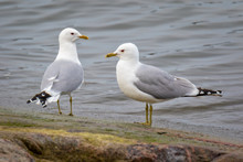A Couple Of Common Gull - Seag...