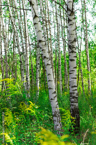 Obraz na plátně Summer birch forests in sunlight. Sunny summer day.