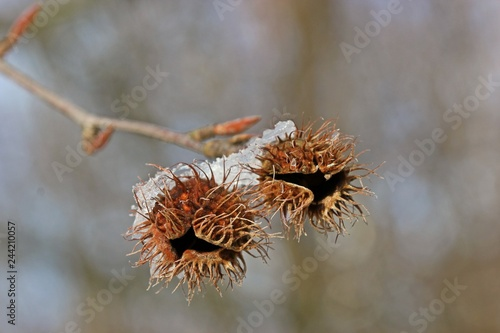 Samenstand einer Rotbuche (Fagus sylvatica) mit Raureif im Winter