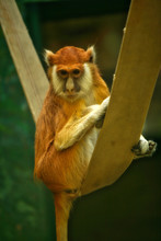 Cute Red Monkey Patas Sitting ...