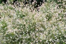 Willow Entire-leaved Salix Integra Hakuro Nishiki