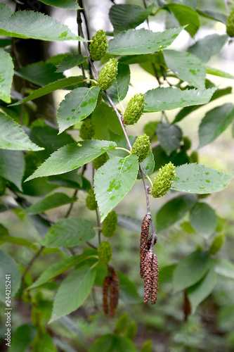 Birch cherry (Betula lenta L.). Branches with green fruits and men's earrings
