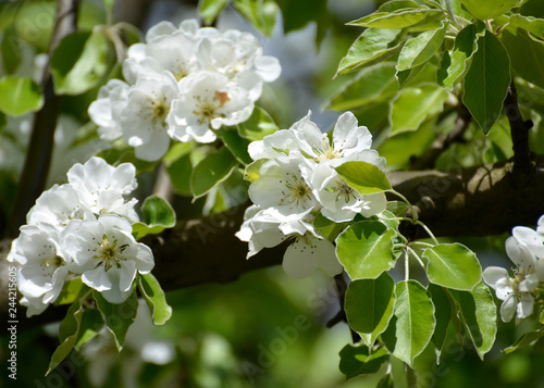 Blossoming of pear ordinary (Pyrus communis L.), close up