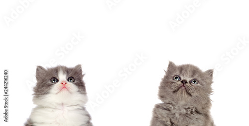 Fotografía  Two funny grey cats lookin up isolated on a white background
