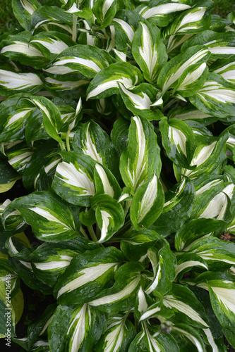 Photo  Background from leaves hosts (funkiya) wavy (Hosta undulata (Otto et Dietr