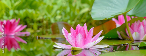 Garden Poster Lotus flower Panorama der Seerosen im Wasser - Gartenteich mit Pflanzen