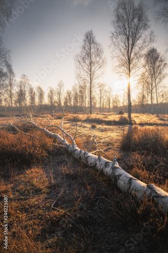 Fototapeta Heide bei Sonnenaufgang (Lüneburger Heide) mit Bäumen und Heidekraut