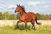 Nice Brown Horse Running On Th...