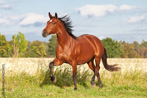 Fototapeta Nice brown horse running on the pasture in summer obraz