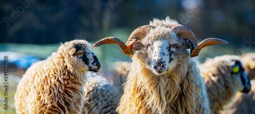 a sheep herd with ram (breed - valaska) close up in winter Fotobehang