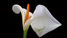 Close Up Of White Calla Lily On Black