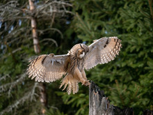 Long-eared Owl (Asio Otus) Landing On The Dry Tree. Beautiful Owl With Orange Eyes On The Tree In Forest. Long Eared Owl Flying.