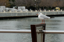 Loneliness Proud Standing Seagull  On The Embankment On The Background  Waterfront And Trees