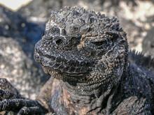 The Marine Iguana, Also Known ...