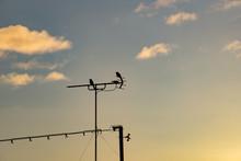 アンテナにとまる鳥