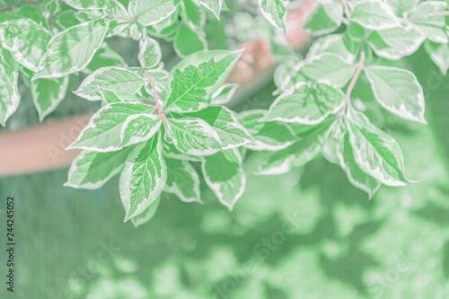 Foto  観葉植物の緑の葉と光