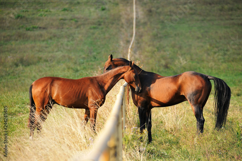 Fototapeta Two bay Akhal-Teke horses greeting and sniffing each other over the fence in the summer pasture. Horizontal, side view. obraz