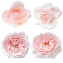 Set Of Pink Rose Buds