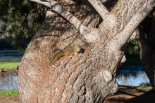 Cute Squirrel Sitting On A Large Trunk Of An Old Tree At Lake Balboa Park In Los Angeles, California
