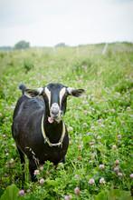 Black Goat Eating Flowers In Field