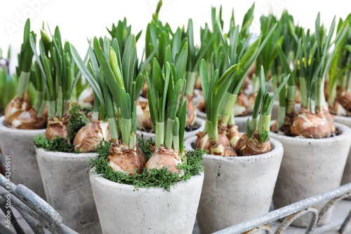 Daffodils grow from bulbs in the flowerpots.