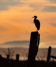 Great Blue Heron At Sunset In Canada
