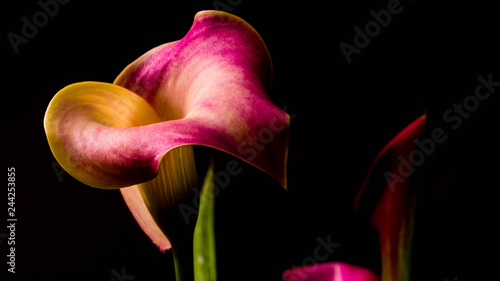 Canvas Prints Floral A color, low-key photo of a calla lily.