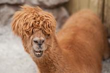 Shaggy Alpaca