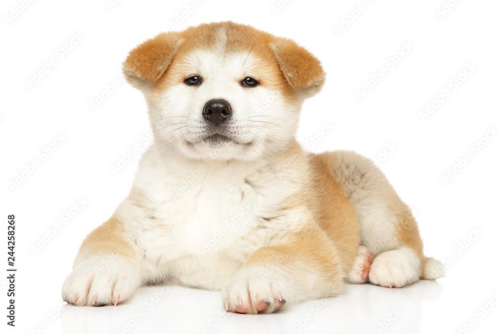 Fototapety, obrazy: Japanese Akita-inu puppy on white background