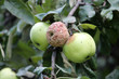 canvas print picture - Brown fruit rot of apple caused by Monilia fungus