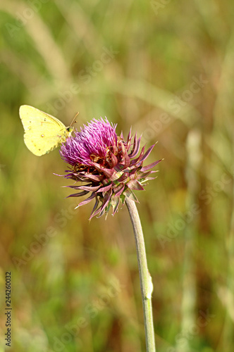 Yellow Butterfly on Sticky Thistle Flower Canvas Print