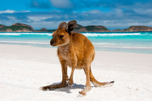 Kangaroo On Lucky Bay White Sand Beach - Australia