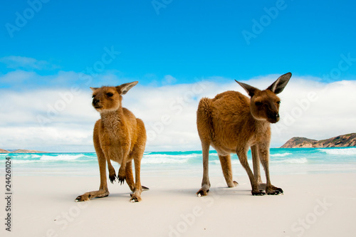 Fotobehang Kangoeroe Kangaroos on Lucky Bay White Sand Beach - Australia