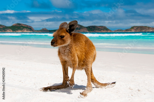 Foto op Canvas Kangoeroe Kangaroo on Lucky Bay White Sand Beach - Australia