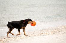 Nice Photo Of A Mixed Breed Rottweiler Dog Playing And Fetching A Ball On A Beach On The Gulf Of Mexico.