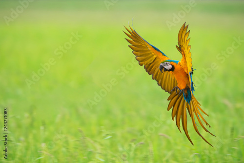 Photo sur Toile Perroquets Blue and gold macaw flying ,beautiful bird