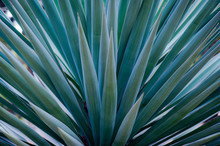 Spiked Agave