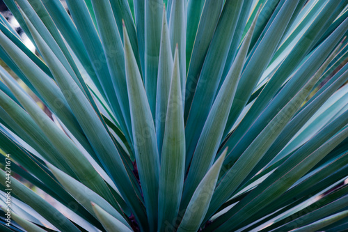 Spiked Agave Canvas Print