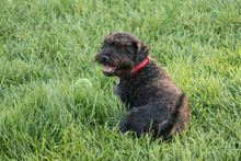 Small Black Dog Reclining On Grass With Its Tongue Hanging Out.