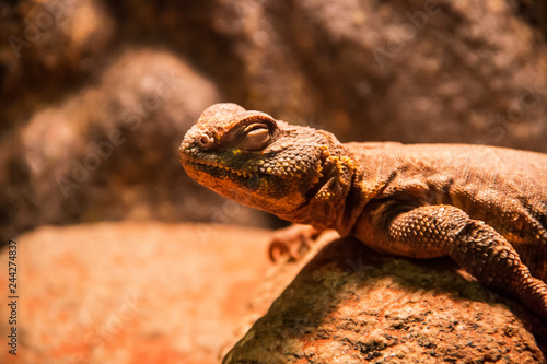 Photo  lizard closeup at the Mystic Aquarium in Mystic Connecticut