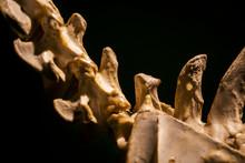 Prehistoric Tail Of Dinosaur