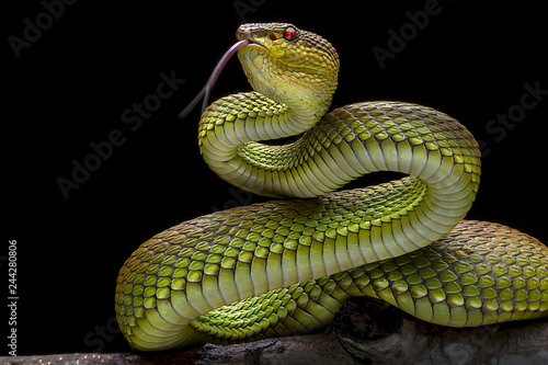 Green Goldy Viper -  - Reptil Animals Photo Collection Slika na platnu