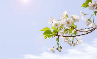 満開の桜と日の光