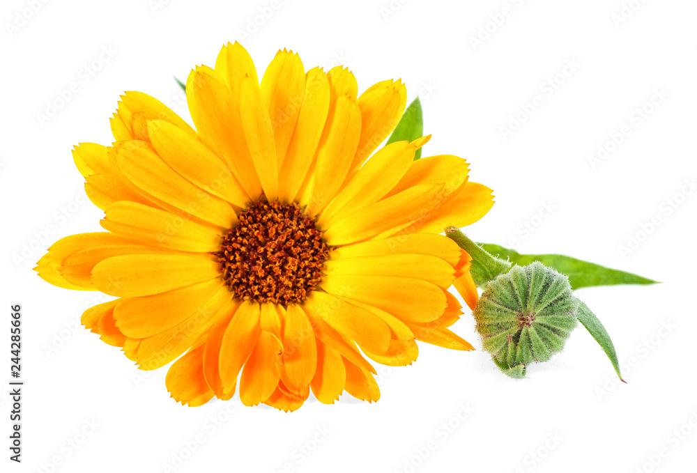 Fototapety, obrazy: Calendula. Marigold flower with leaves isolated on white background.