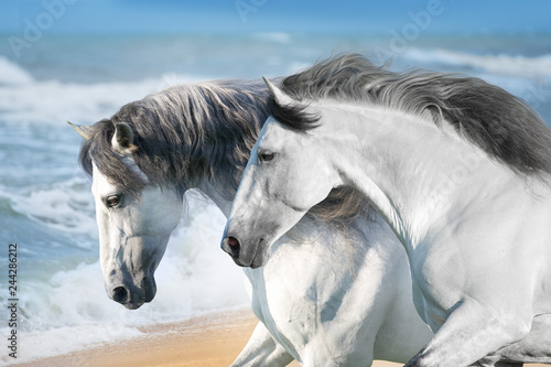 White horses run fast on ocean shore