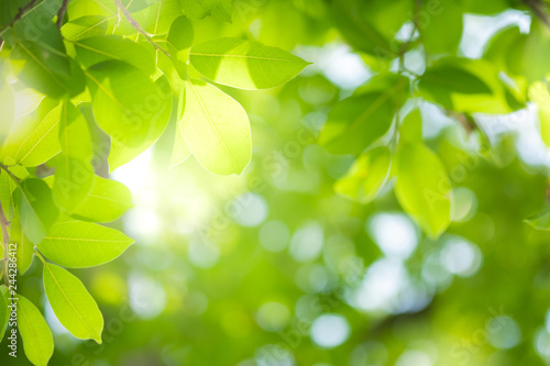 fototapeta na ścianę Close up beautiful view of nature green leaves on blurred greenery tree background with sunlight in public garden park. It is landscape ecology and copy space for wallpaper and backdrop.
