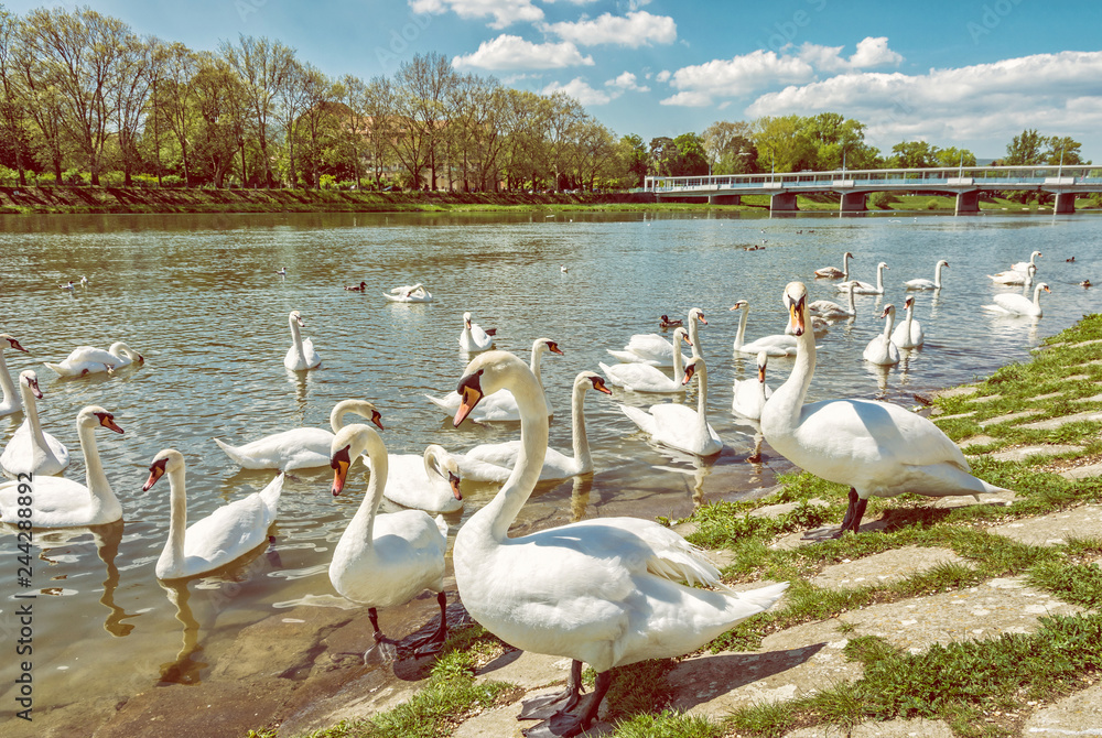 Beautiful Swans on river side with bridge, Piestany