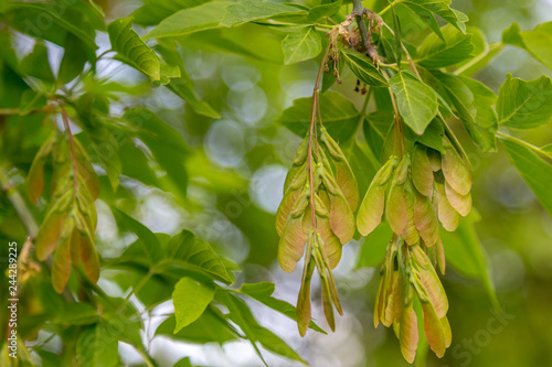 Springtime background with copy space of ash tree seeds closeup with nice boke Canvas Print