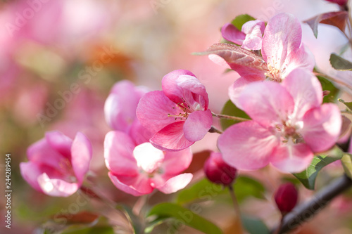 beautiful tender pink sakura flowers on branches in the spring sunny garden