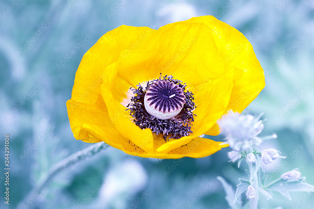 Single creative yellow poppy flower on blue blurred grass background, top view, macro.